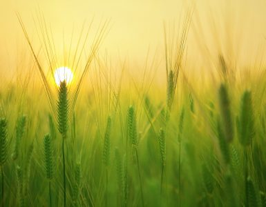 Barley Field Wheat Agriculture Arable Land