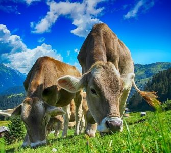 Cows Cattle Farm Rural Agriculture Livestock