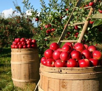 Orchard Apple Apples Fruit Green Nature Tree