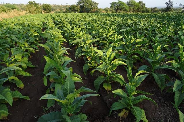 Tobacco, Nicotiana Tabacum, Leaves, NicotianaTobacco Nicotiana Tabacum Leaves Nicotiana